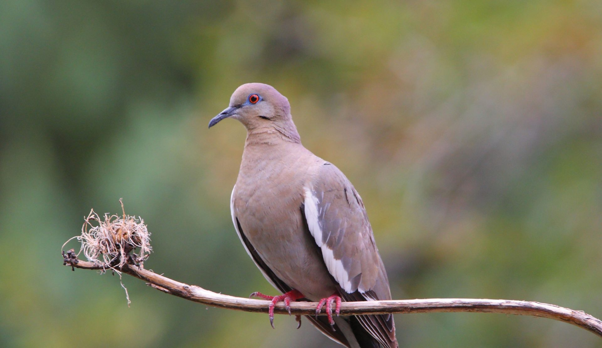 White-winged Dove pic 2